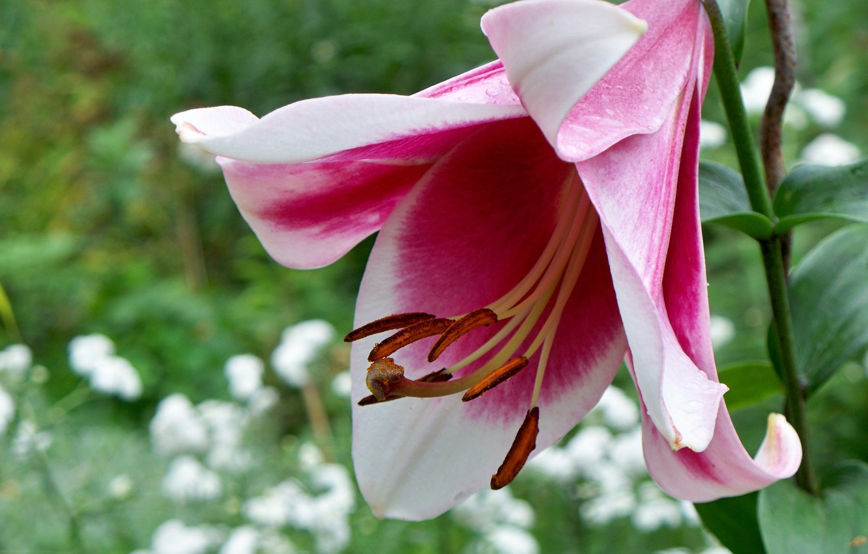 Фото обои цветок, макро, розовая, лилия, красивая, клумба, аромат, боке