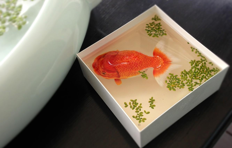 Фото обои вода, коробка, рыбка, рыба, вид сверху, золотая, ряска, ёмкость
