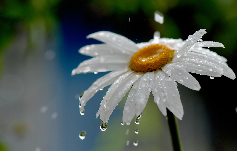 Фото обои цветок, вода, капли, природа, дождь, ромашка