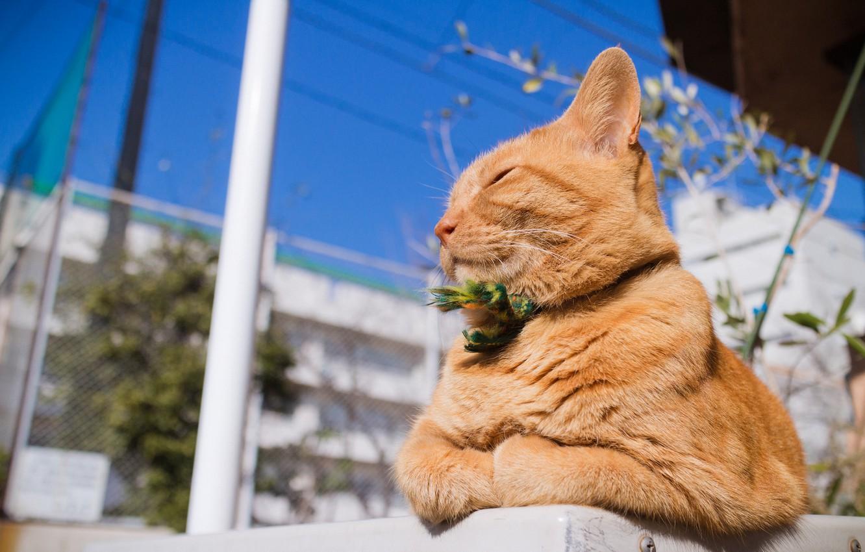Фото обои лето, кот, рыжий