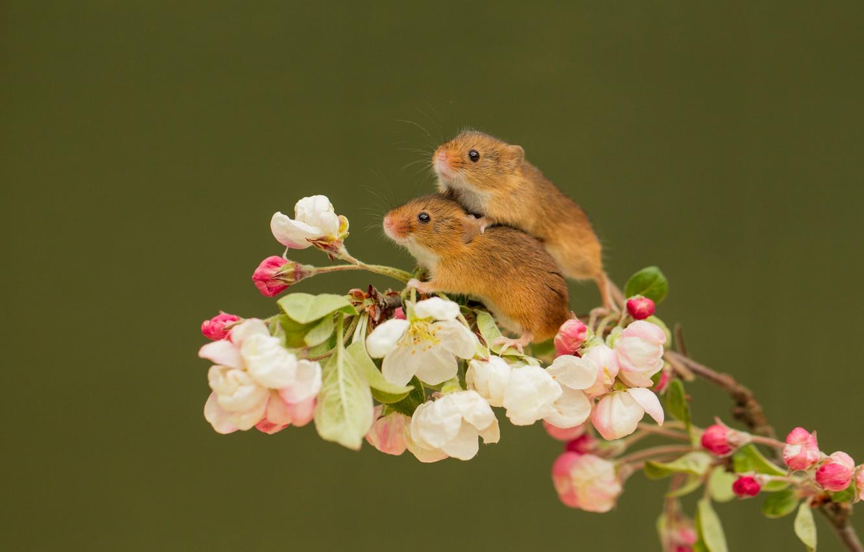 Фото обои животные, цветы, ветка, пара, мыши, грызуны