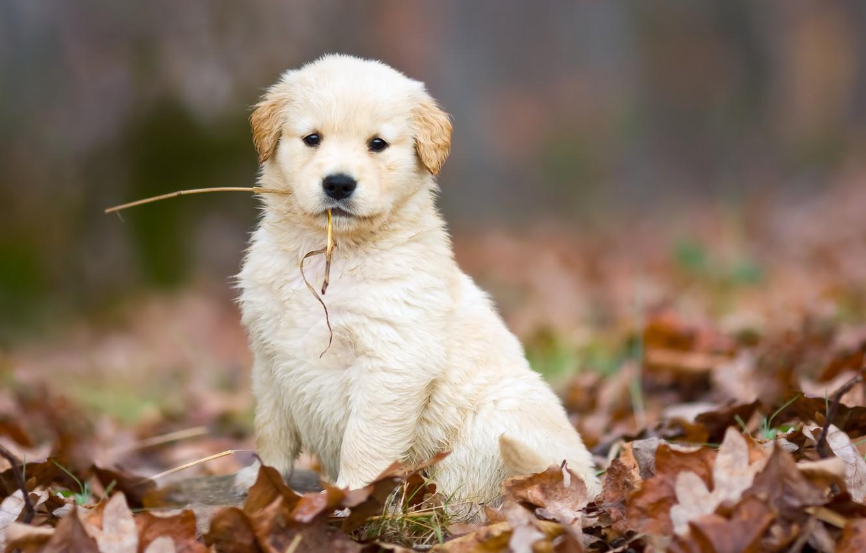 Фото обои осень, белый, листья, собака, милый, щенок, опавшие, соломинка