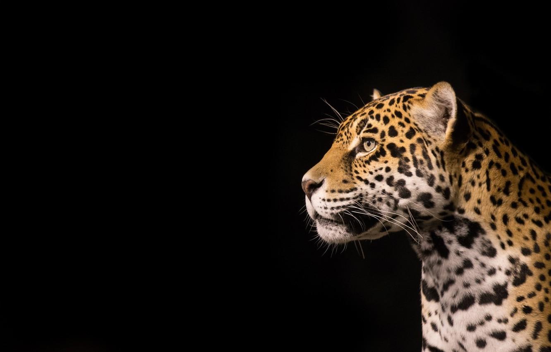 Обои дерево, морда, дикая кошка, Хищник, взгляд, Yaguar. Кошки foto 17