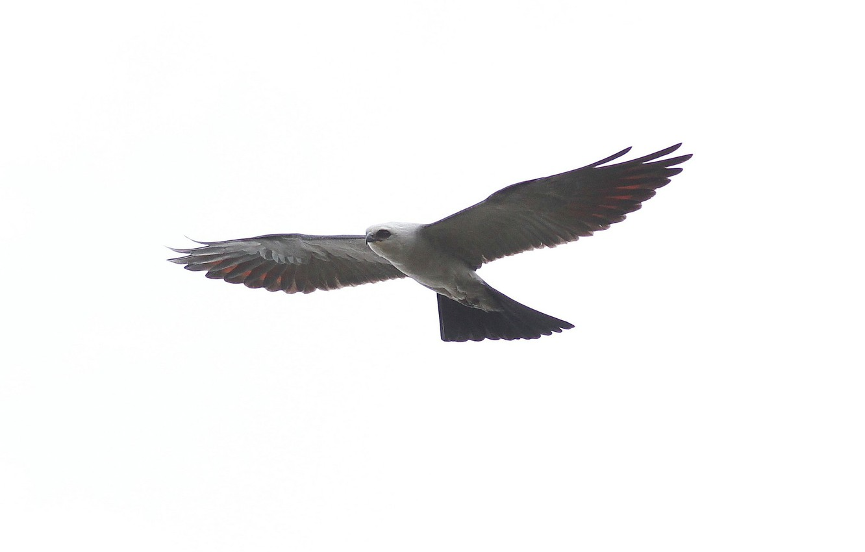 Фото обои птица, крылья, хищник, полёт, взмах, Mississippi kite, Ictinia mississippiensis, Миссисипский коршун