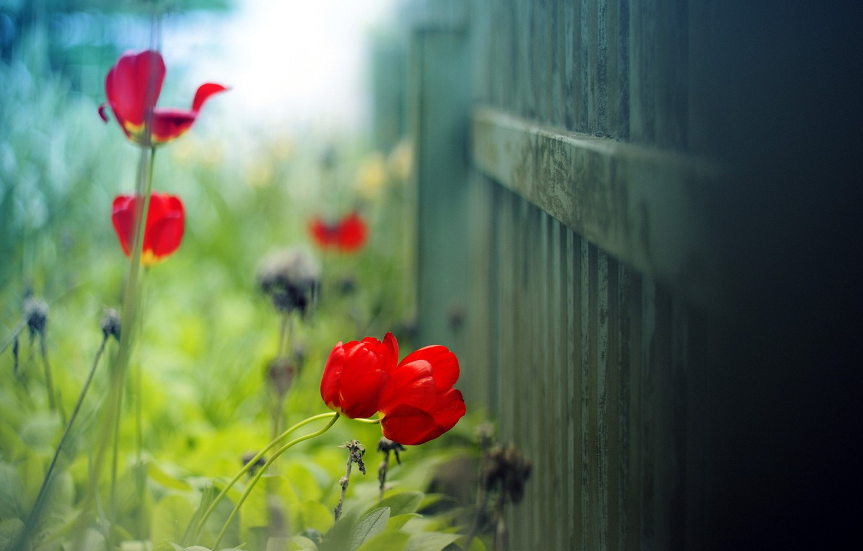 Фото обои лето, макро, свет, фон, забор, тюльпан