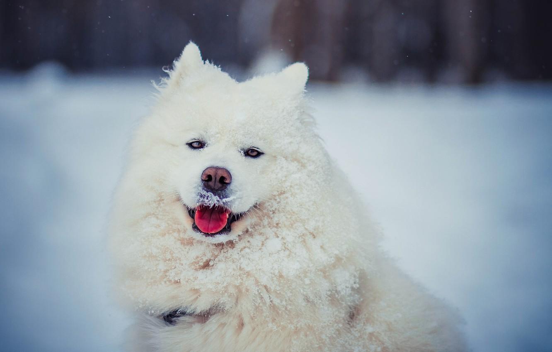 Фото обои зима, язык, взгляд, морда, снег, собака, шерсть, белая, Самоед