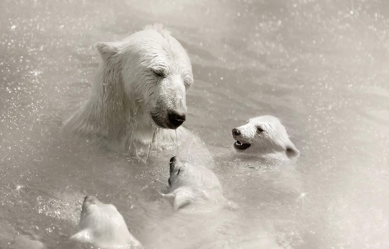Обои Медведь, медведица, медвежата, ursus maritimus. Животные foto 6