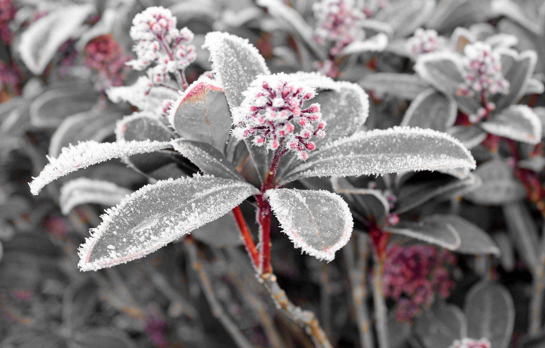 Фото обои листья, снег, растение, лёд, мороз