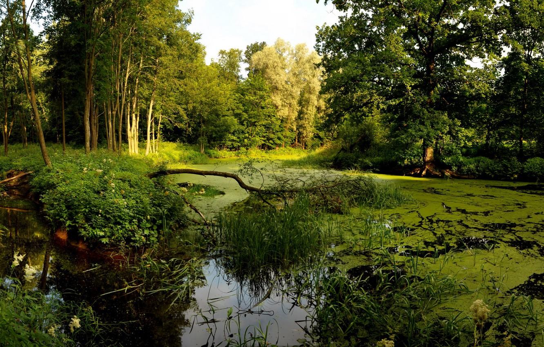 Фото обои лес, деревья, болото