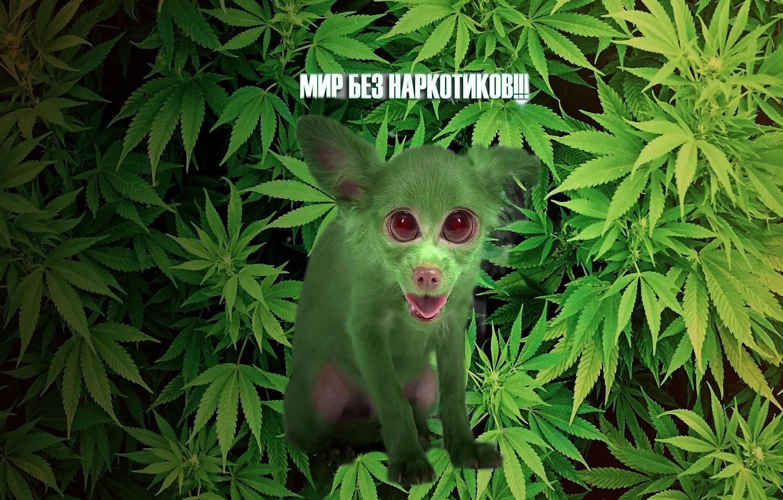 что такое пыль марихуаны
