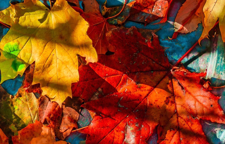 Фото обои листья, опавшие, кленовые, осенние