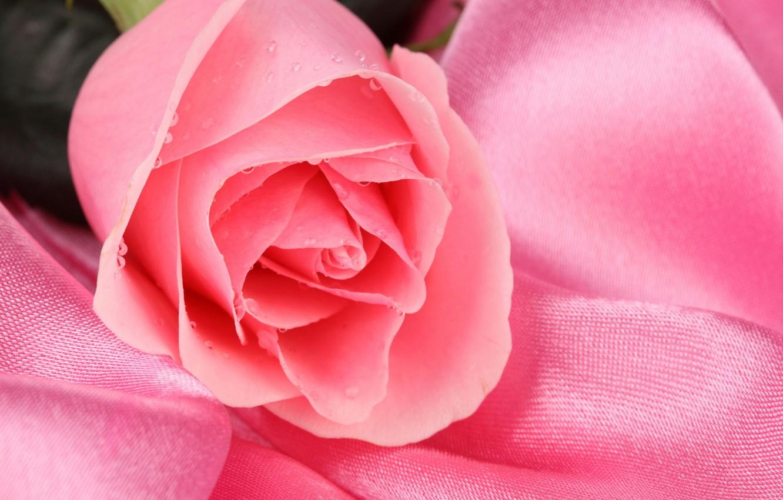 Фото обои цветок, капли, роса, розовый, роза