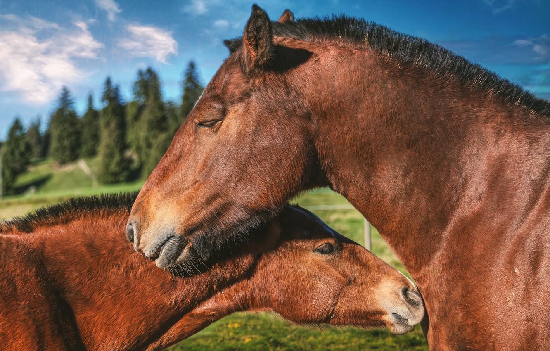 Фото обои любовь, кони, лошади, пара