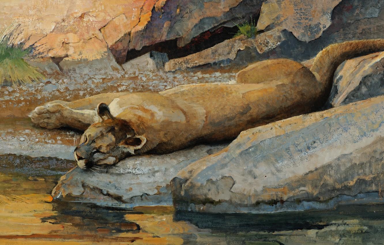 Фото обои кошка, вода, ручей, камни, отдых, сон, хищник, картина, арт, лежит, пума, водопой, дикая, валуны, Bob …