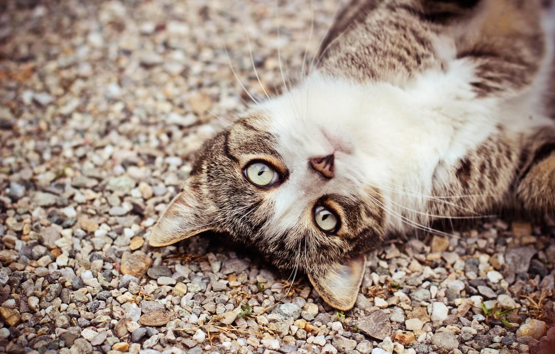 Фото обои кошка, глаза, кот, взгляд, морда, камешки