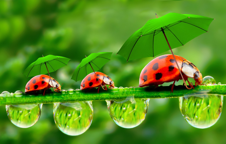 Фото обои капельки, зонтики, божьи коровки, травинка, росинки