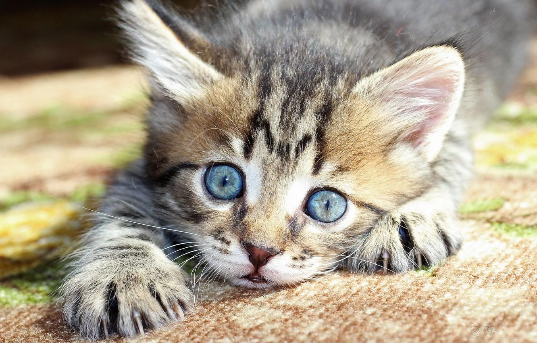 Обои котёнок, голубые глазки, мордочка. Кошки foto 8