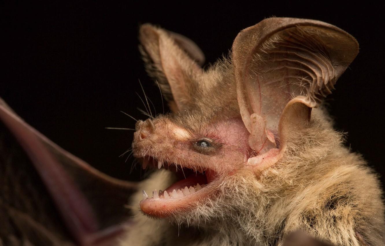Фото обои Австралия, Гладконос Гульда, вид гладконосых летучих мышей