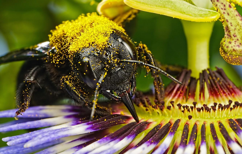 Фото обои цветок, пчела, пыльца