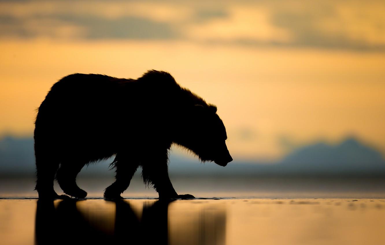 Фото обои закат, медведь, Аляска, силуэт, топтыгин