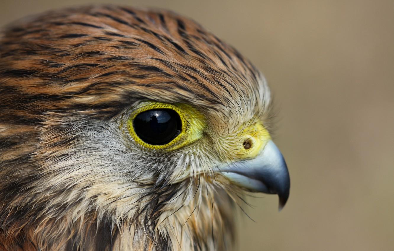 Фото обои взгляд, птица, профиль, Пустельга