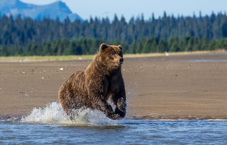 Фото обои природа, река, медведь