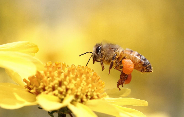 Обои насекомое, цветок, пчела. Макро foto 7