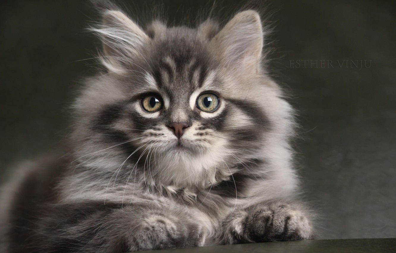 Фото обои взгляд, серый, пушистый, малыш, котёнок