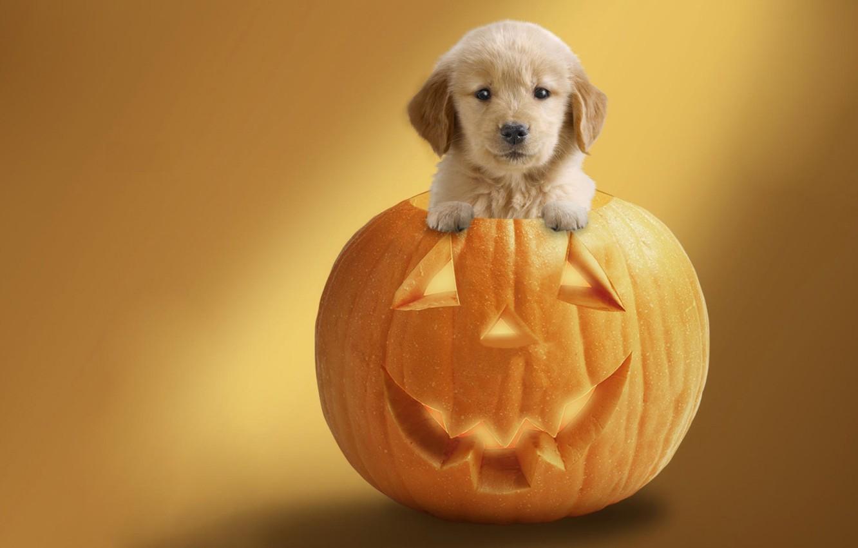 Фото обои фон, праздник, собака, тыква, хеллоуин