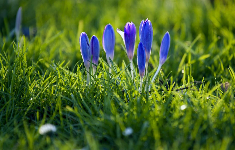 Фото обои трава, макро, фокус, весна, лепестки, размытость, бутоны, синие, Крокусы