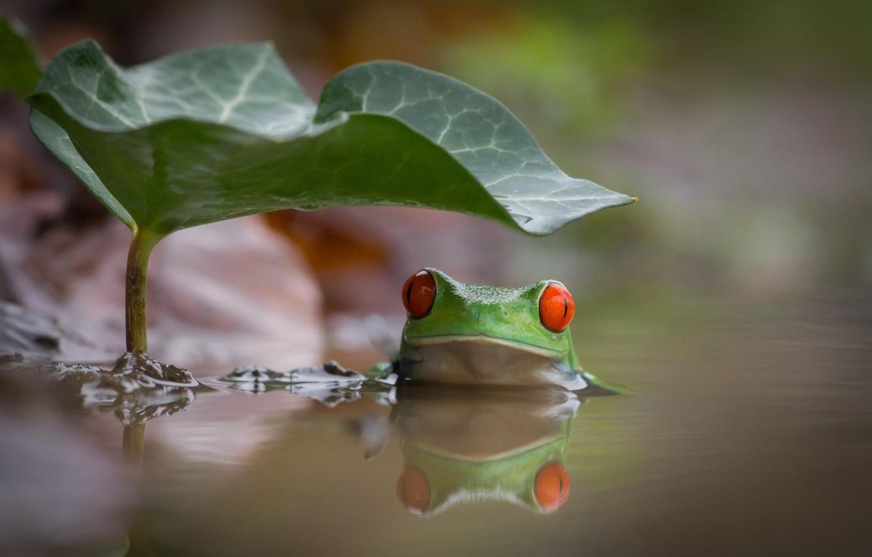Фото обои вода, лист, интерес, озеро, лягушка, купание, зеленая, красные глаза, разноцветная, frog, water, red eyes, lake, …