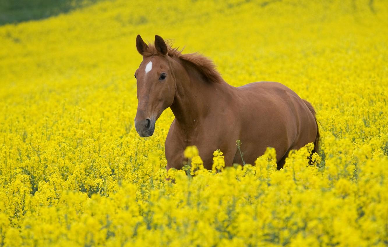 Фото обои поле, животные, небо, цветы, природа, конь, лошадь, жеребец, кони, растения, лошади