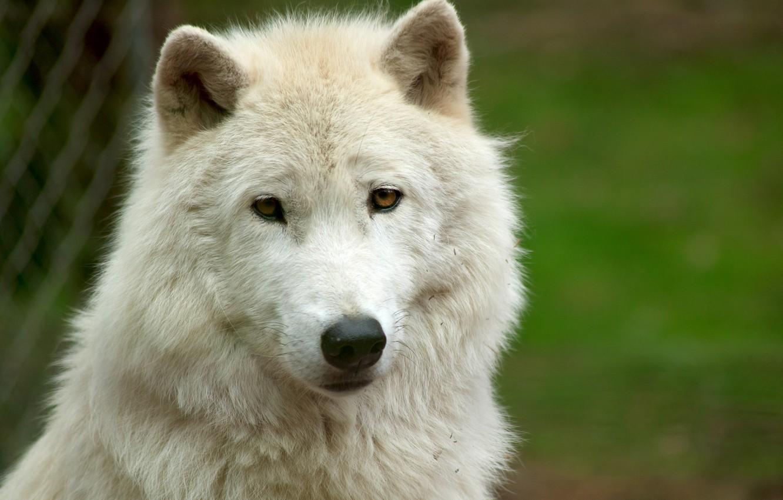 Фото обои белый, взгляд, морда, волк, white wolf