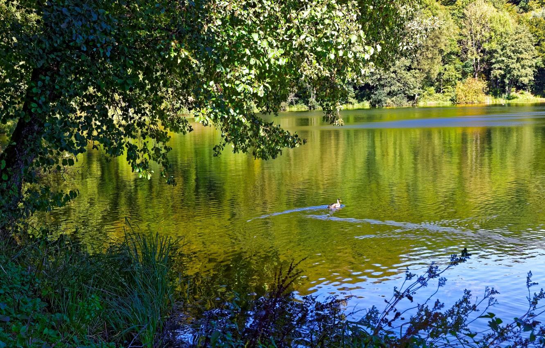 Фото обои зелень, лес, лето, трава, деревья, ветки, озеро, листва, Германия, утка, плавает, Gillenfeld