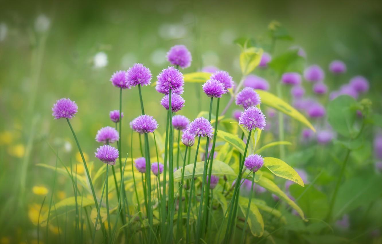 Фото обои зелень, трава, цветы, цветение, сиреневые, Лук скорода