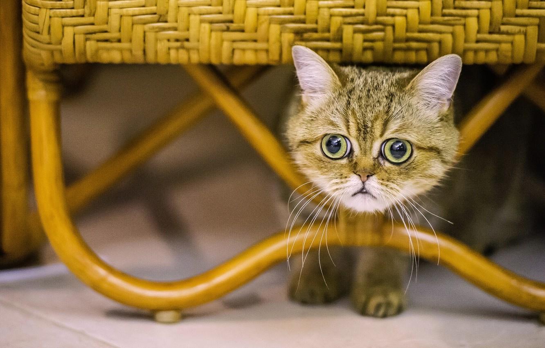 Фото обои кошка, кот, взгляд, мордочка, глазища, экзот, Экзотическая короткошёрстная кошка