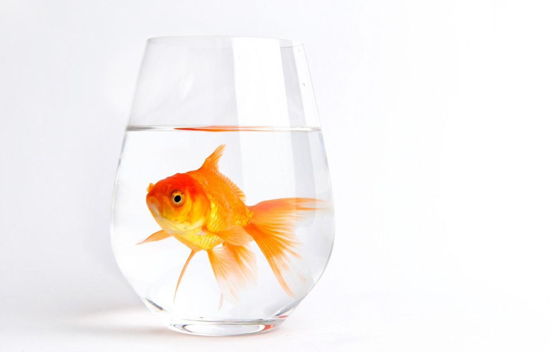Фото обои белый, вода, стакан, фон, рыбка, золотая