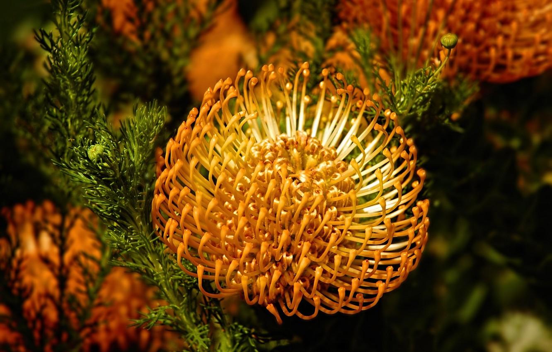 Фото обои цветок, листья, бутон, flower, yellow, желтая, beautifull, хризантема, chrysanthemum, Emi