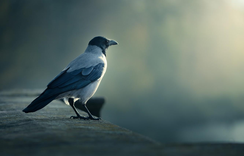 Фото обои птица, ворона, смотрит