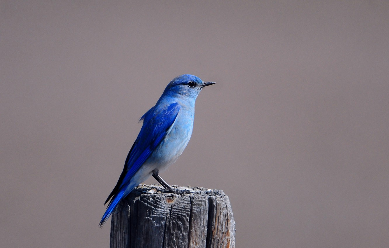 Фото обои Птица, пенек, птичка, синяя