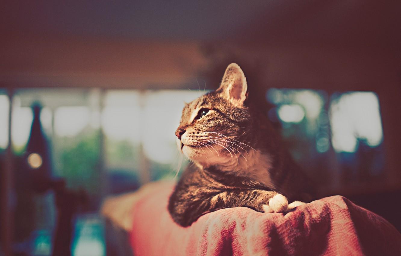 Фото обои кот, усы, фон, обои, картинки, лапы, шерсть, мордочка, WALLPAPERS