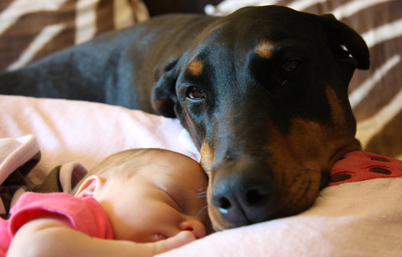 Фото обои черный, Доберман, малыш, дружба, милый, усики, спят, спящий