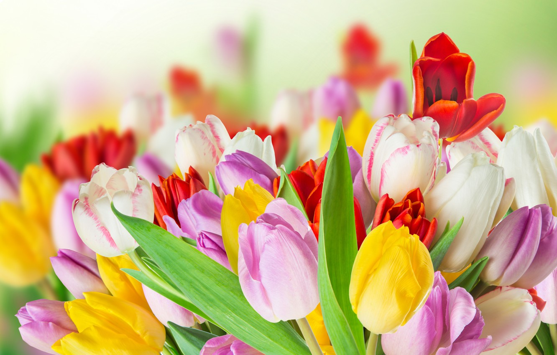 Фото обои цветы, colorful, тюльпаны, tulips, spring