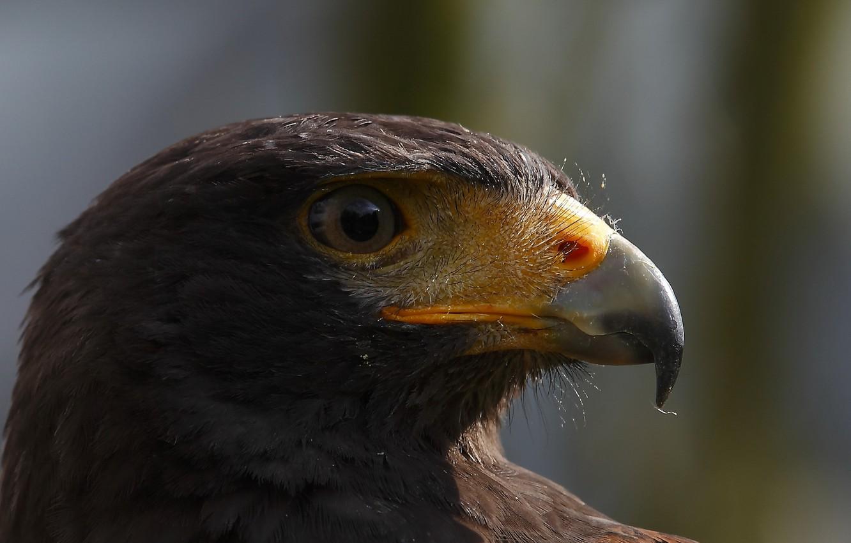 Фото обои макро, птица, орёл