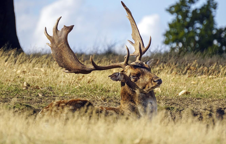 Фото обои deer, sunny, lazy