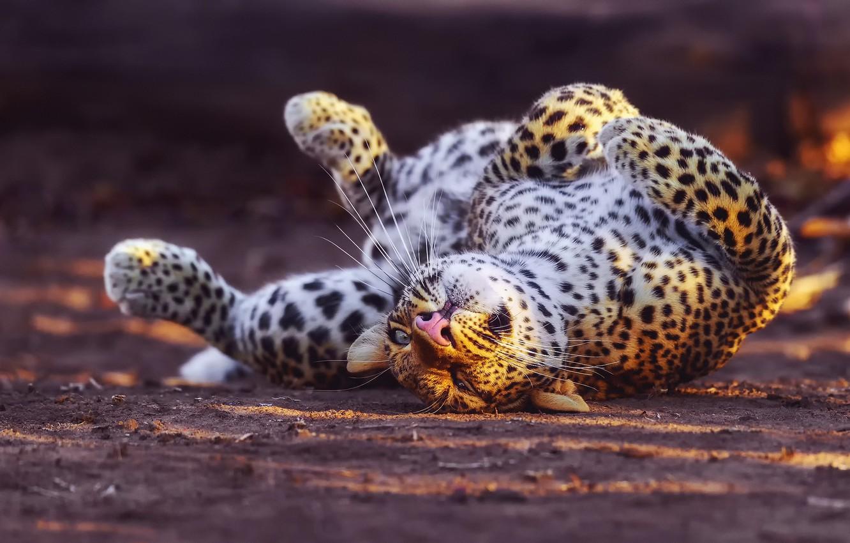 Фото обои леопард, играет, большая кошка, вывернулся