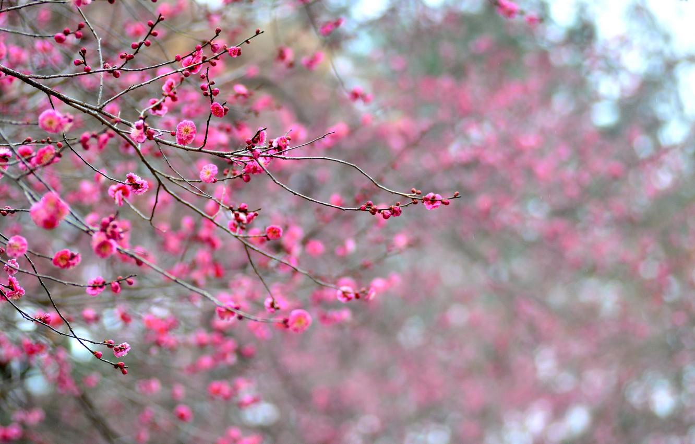 Фото обои макро, цветы, ветки, дерево, фокус, лепестки, Япония, размытость, розовые, абрикос, цветение, малиновые