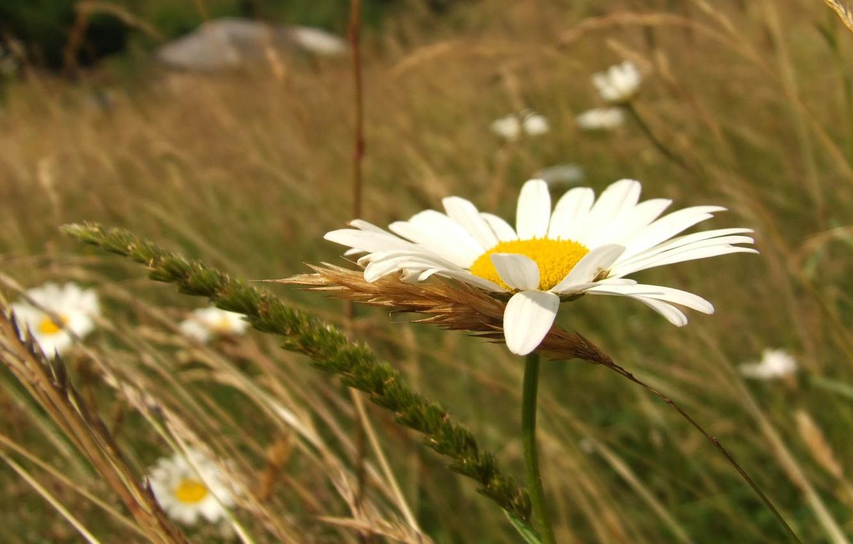 Фото обои трава, колос, ромашка