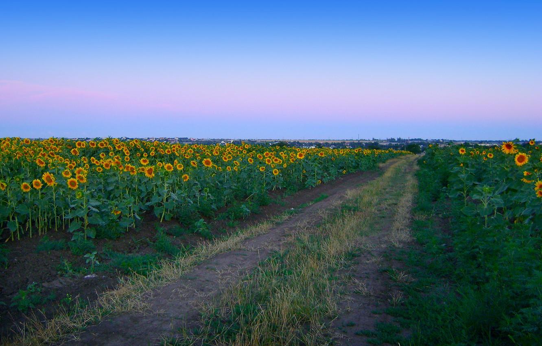 Фото обои дорога, поле, лето, подсолнухи, пейзаж, природа, рассвет, село
