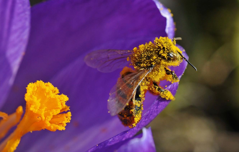 Фото обои цветок, пчела, пыльца, лепестки, насекомое